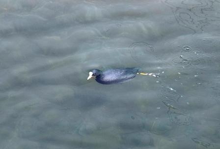 水に潜るオオバン2web
