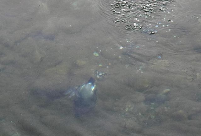 水に潜るオオバン0web