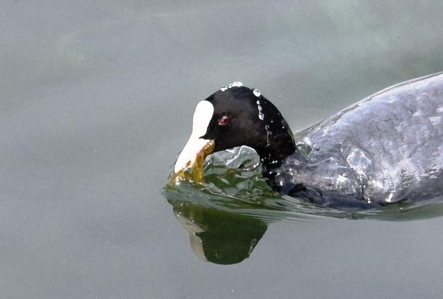 水に潜るオオバン食べるweb