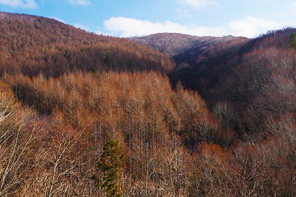 立丸峠のカラマツ林