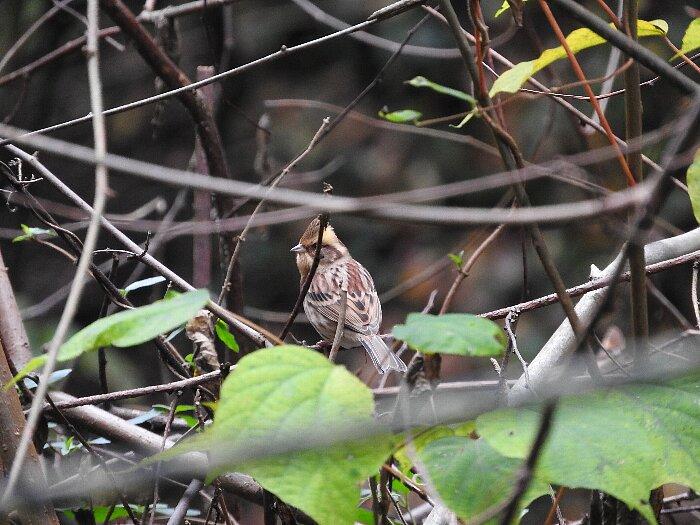 ミヤマホウジロ雌s