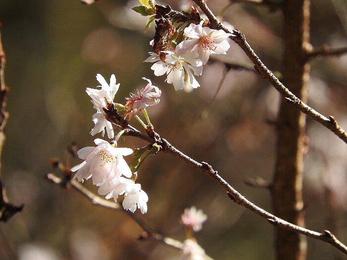 冬桜 (1)s