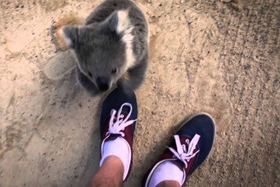 The moment this baby koala climbs up and cuddles cameraman