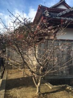 カナヘビ神社の桜