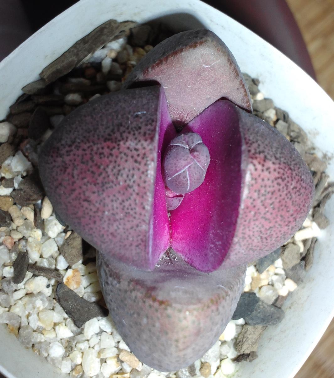 紫帝玉20160218
