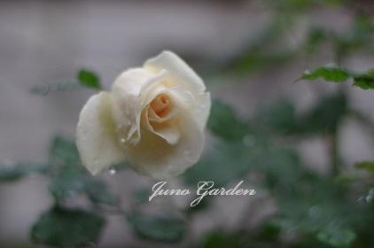 白バラ151221