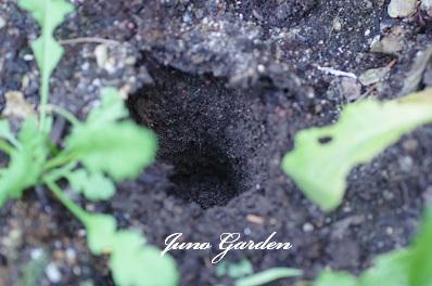 バラの寒肥穴160207