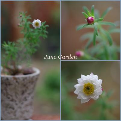 花かんざし160204