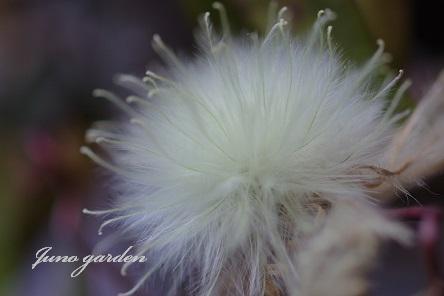 クレマチスの種160210