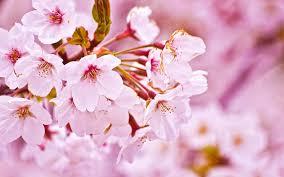 ピンク桜画像