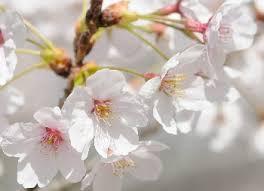 白っぽい桜Unknown