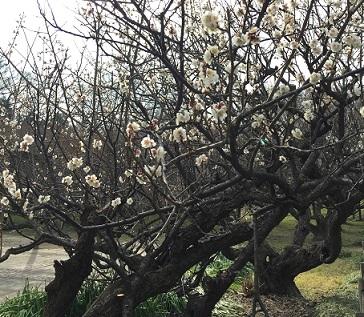 越谷梅林公園2