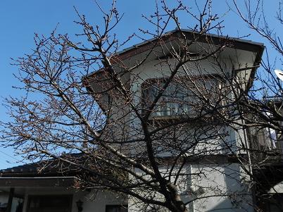東藤沢の河津桜