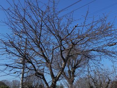 南入曽の河津桜