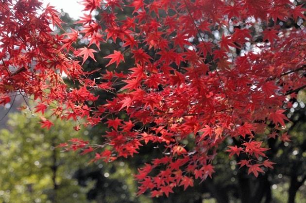 年の瀬の紅葉