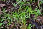 Eriocaulon truncatum