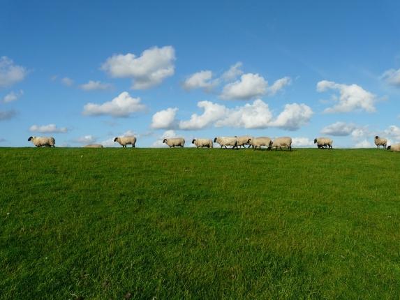 sheep-57706_1280.jpg