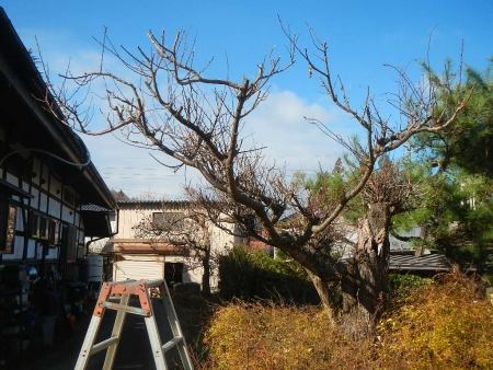 梅の木 (2)