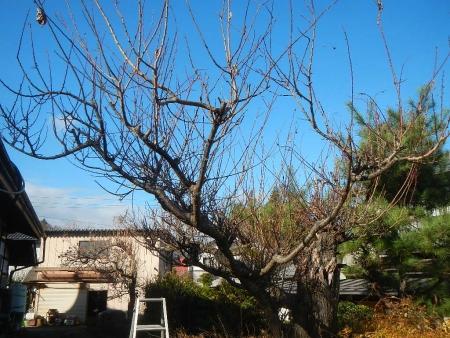 梅の木 (1)