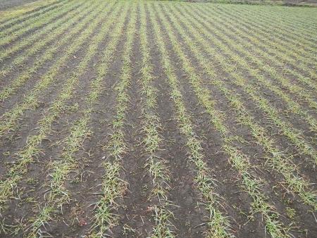 麦畑 (7)