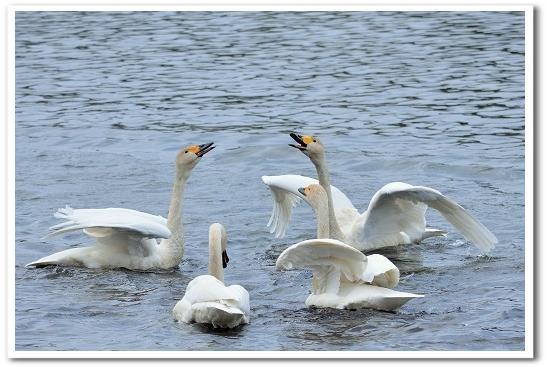 白鳥 求愛