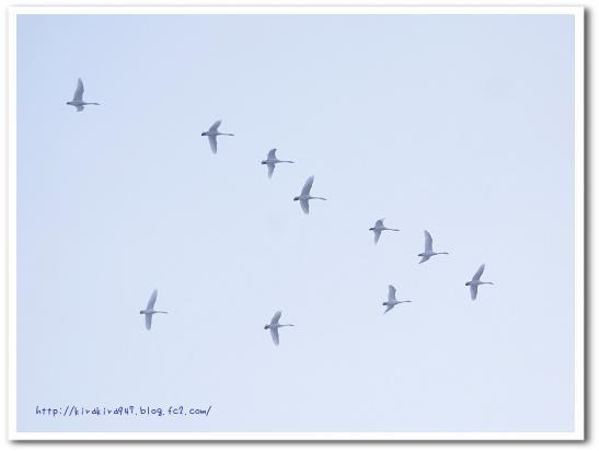 朝霧の中を舞う白鳥たち