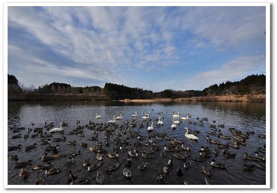 琵琶池 白鳥