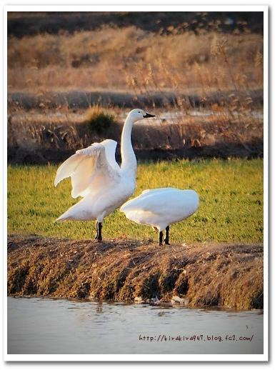 宇都宮の田んぼの白鳥