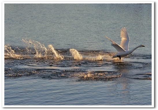 五行川の白鳥
