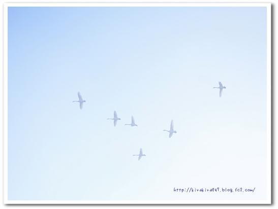 霧の中を舞う白鳥たち
