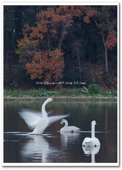 鹿沼市の田んぼの白鳥