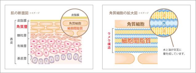 ラミナーゼ モイストクレンジングバーム 肌の構造