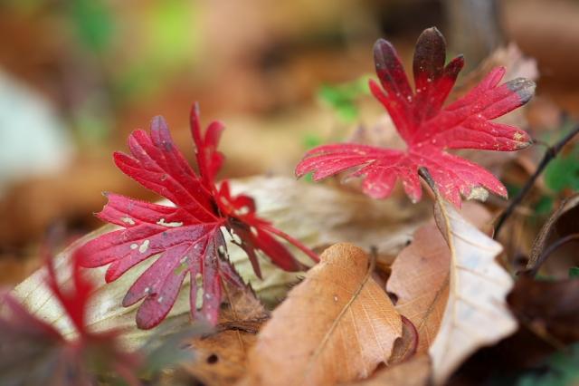 アケボノフウロ-紅葉