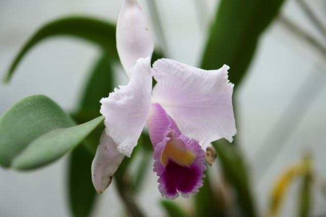 C. trianei