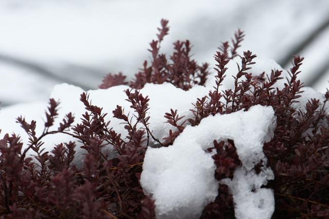 クランベリーと雪-01