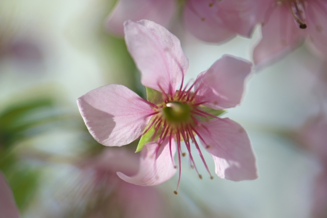 ヒマラヤ桜-04