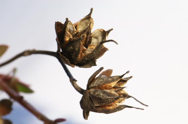 ヒドコート ヒペリカムの種鞘-01