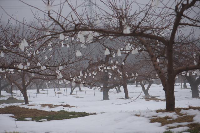 新府の桃畑-雪とのコラボ-01