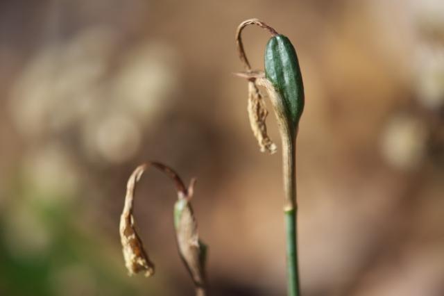 Narcissus Cantabricus-04
