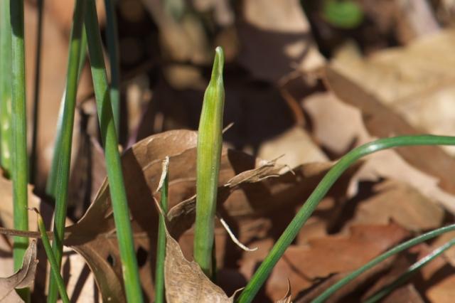 Narcissus Cantabricus-05