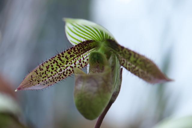 Paphopedilum wardii ' Rin '