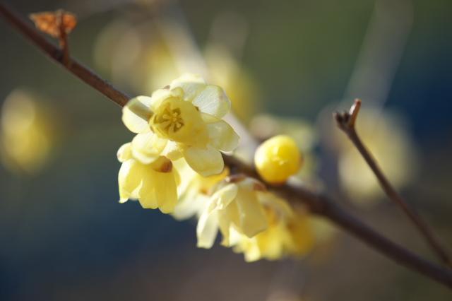 ロウバイの花-06