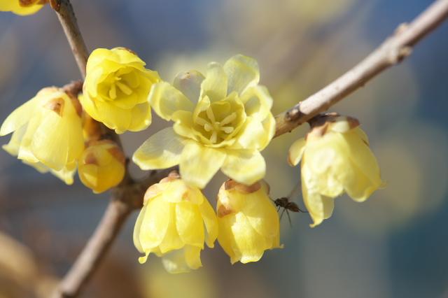 ロウバイの花-05