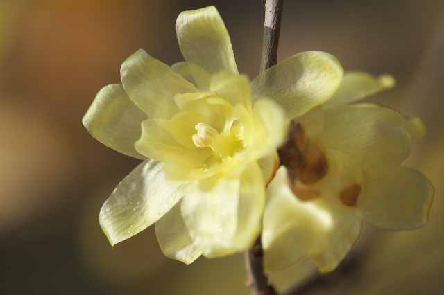 ロウバイの花-04