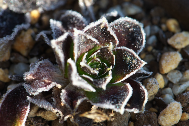 Sempervivum Orion