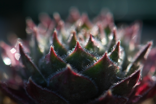 Sempervivum Pacific Grey Dawm