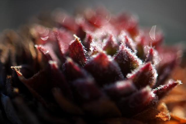 Sempervivum Pacific Hairy Hep-01
