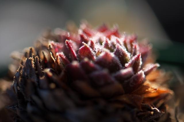 Sempervivum Pacific Hairy Hep-02