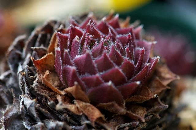 Sempervivum Pacific Hairy Hep
