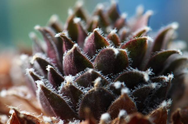 Sempervivum Vanilla Chiffon-02